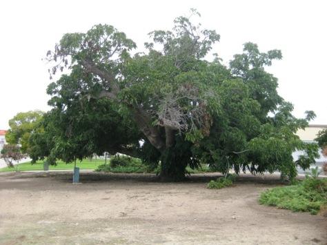 Paradox Hybrid Walnut Tree